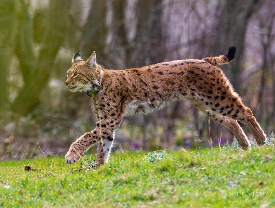 ris, šafarek, fotografija životinja, wildlife photography