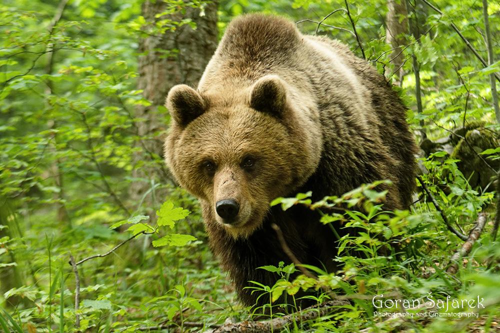 šafarek, fotografija životinja, wildlife photography, medvjed
