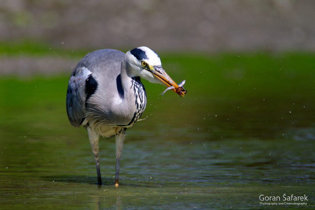 siva čaplja, šafarek, fotografija životinja, wildlife photography