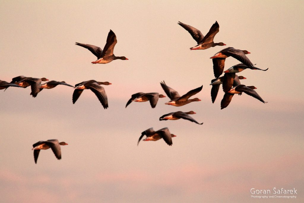 šafarek, fotografija životinja, wildlife photography, guske, ptice