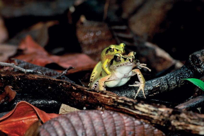 šafarek, madagaskar,zmija,masoala, istraživanje, ekepedicija, biologija, putovanja, džungla, žaba